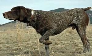 dog pointing (2)